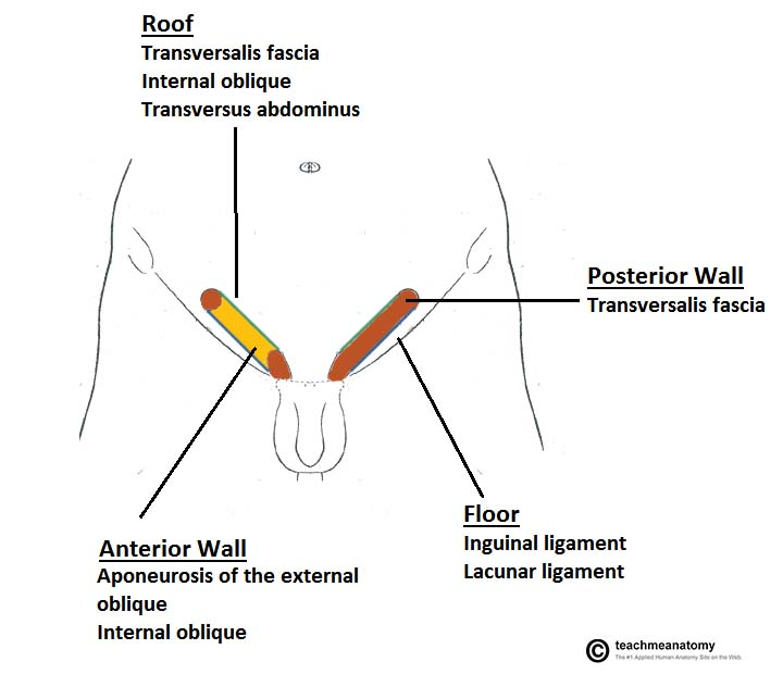 https://teachmeanatomy.info/wp-content/uploads/Borders-and-Boundaries-of-the-Inguinal-Canal.jpg