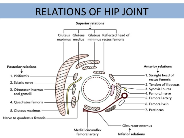 Relation of hip joint